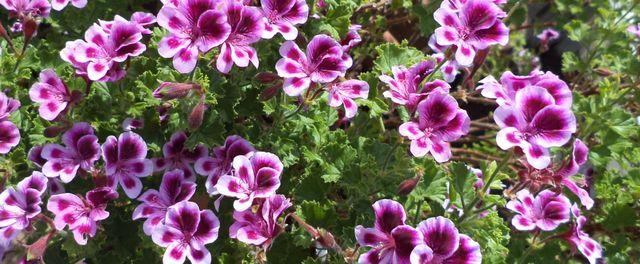 P largonium ou g ranium geraniaceae plantes web for Geranium d interieur